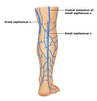 zylaki konczyn dolnych u pielegniarek i poloznych
